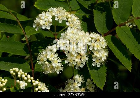 The Rowan, or Mountain Ash, is a widespread tree in the UK and often found at higher altitudes that other deciduous trees.