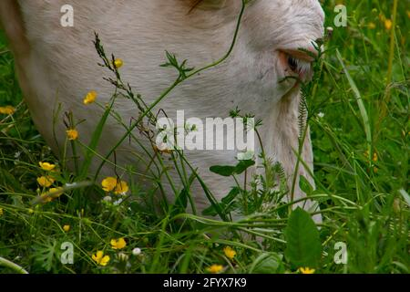 Close up of a cow head eating grass in a pasture