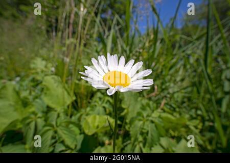 One Daisy flower, (Bellis perennis)