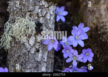 Common Hepatica Anemone hepatica, syn Hepatica nobilis, and Usnea species of Beard Lichen or Old Man's Beard Fungus