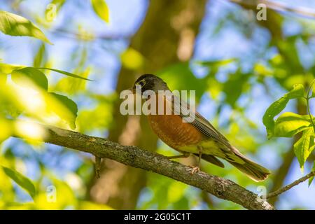 The American robin (Turdus migratorius) is a migratory songbird,  state bird of Connecticut, Michigan and Wisconsin.