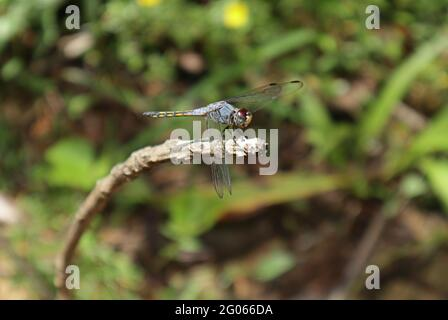 Side view of a violet marked darter dragonfly on top of a dry stick