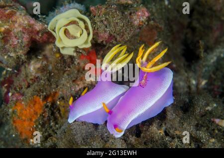 Emperor Shrimp (Zenopontonia rex) on Robe Hem Hypselodoris Nudibranch (Hypseldoris apolegma) with egg spiral, I Love Amed dive site, Amed, Karangasem