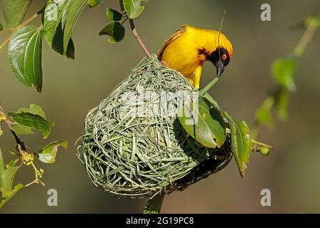 A male lesser masked weaver (Ploceus intermedius) sitting on its nest, South Africa