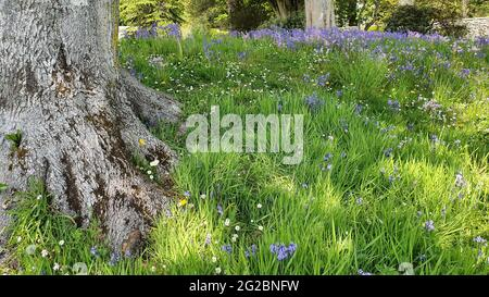 Low view of bluebells growing wild around tree trunks in a garden