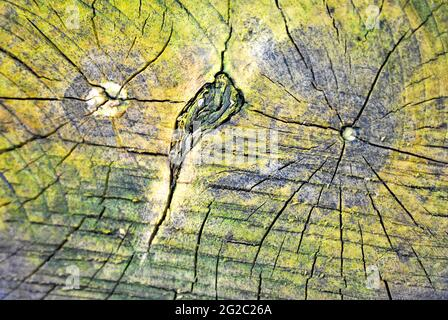 Old double centre tree sawn stump with cracks from center, green moss texture, top view