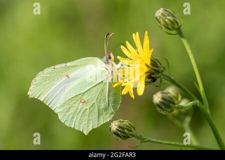 Brimstone butterfly (Gonepteryx rhamni) feeding on hawkbit wildflower during summer, UK
