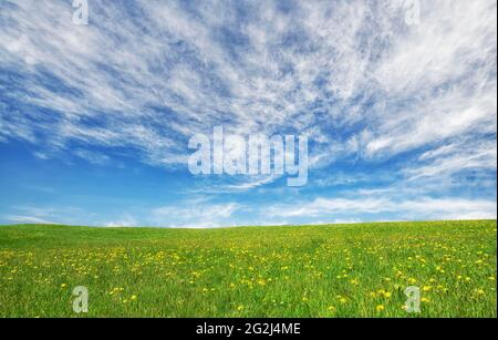 Spring meadow with dandelions and green grass under a blue sky and clouds