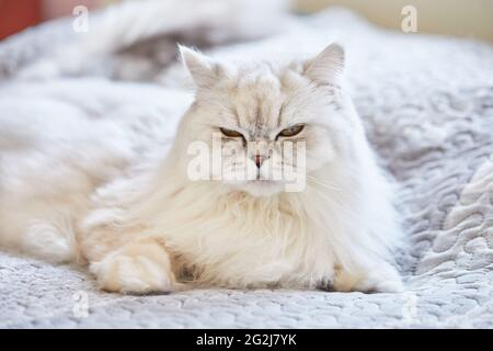 British long-haired white cat is sitting at home on the bed