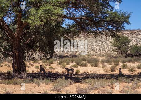 Cheetah female and two cubs hidding in tree shadow in Kgalagadi transfrontier park, South Africa ; Specie Acinonyx jubatus family of Felidae