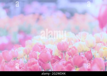 Pastel Tulip bright spring flower with copy space for web banner and invitation card display design in summer time. Tulips floral spring bloom in spri