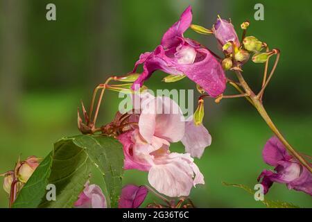 Himalayan balsam, Indian balsam, red jewelweed, ornamental jewelweed, policeman's helmet (Impatiens glandulifera), flowers, Germany, Bavaria