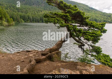 A Douglas fir tree shaped by the wind leaning over the shore of Cascade Lake in Moran State Park on Orcas Island, San Juan Islands in Washington State