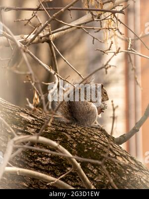 grey fluffy squirrel sitting on a branch in a city with something in the hands eating