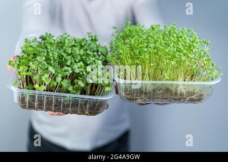 Hold the microgreen in hands. Watercress Salad and cabbage, radish. Sprouted sprouts. Urban gardening. Organic vegan food. Useful vitamins. Growing at