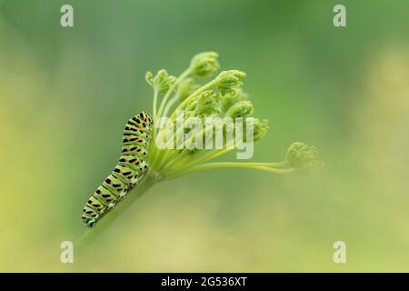 Caterpillar on food plant, portrait of Old World Swallowtail (Papilio Machaon)