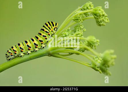Extreme closeup for the Old World Swallowtail caterpillar on fennel (Papilio Machaon)