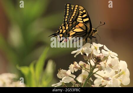 View of a Swallowtail Butterfly / Papilio machaon foraging on wildflowers, Norfolk, Britain