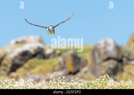 Puffin flying towards camera with beak full of sand eels to feed its young coming in to land on the Isle of May, Fife, Scotland, UK