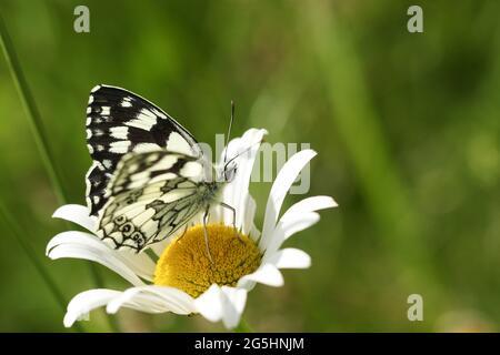 A Marbled White Butterfly, Melanargia galathea, perching on an Ox-eye Daisy wildflower in a meadow.