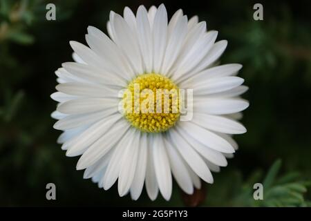 White common daisy with  yellow stamens  and green leaves,  spring daisy in the garden, flower head macro, beauty in nature, floral photo, macro photo