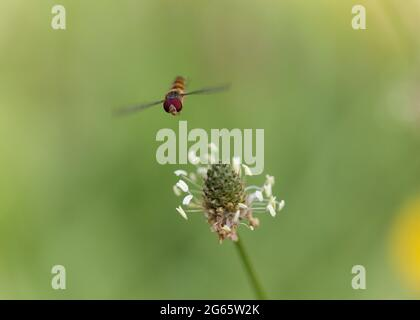 Marmalade Hoverfly Episyrphus balteatus flying or foraging on flower