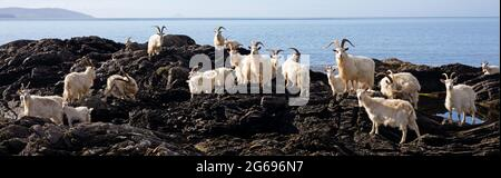Feral Carradale Goats (Capra Aegargus) on the headland beside Carradale Bay, with Arran beyond, Kintyre, Argyll, Scotland, United Kingdom, Europe.