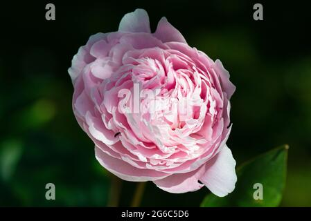 A pink Chinese peony cultivar (Paeonia lactiflora)