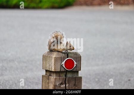 Eastern grey squirrel sitting on a post