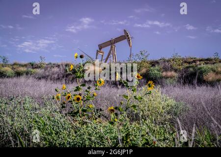 Yellow oil well pump jack on ridge against puple sky with weeds and sunflowers in field - Selective focus - forground blurred.