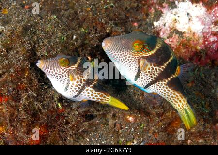 Mating pair of Black-Saddled or Valentines Pufferfish, or Toby, Canthigaster valentini. Smaller female on left preparing substrate to lay eggs.