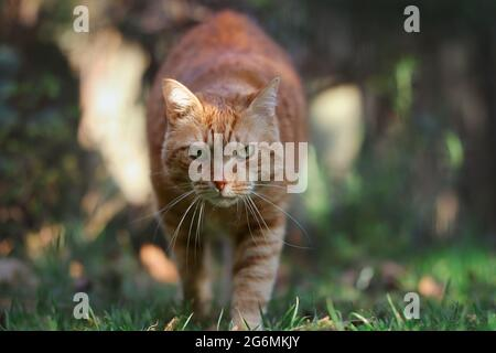 Ginger Tabby Cat Walks Towards Camera in the Garden. Orange Cat with Serious Look Outside.