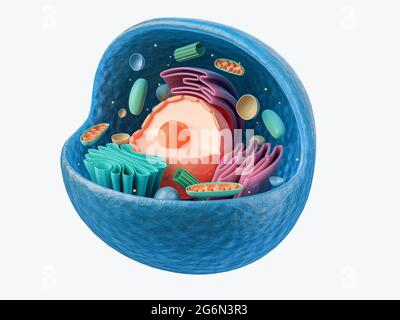 3d rendering of biological animal cell with organelles cross section isolated on white