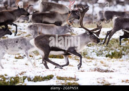 Big male reindeer with velvet antlers in a herd of migrating Reindeer in northern Sweden in snow during autumn