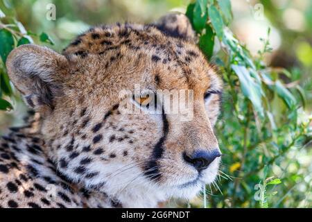 Cheetah portrait in the shade under a bush