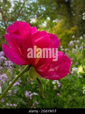 Paeonia 'Scarlet O'Hara, peony 'Scarlet O'Hara' bloom in close-up