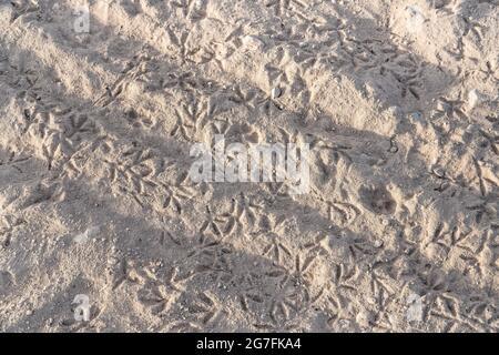 Bird footprints of a seagull claws on a silt loam soil