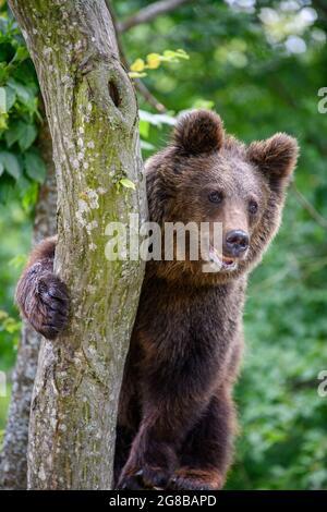 Wild Brown Bear (Ursus Arctos) on tree in the summer forest. Animal in natural habitat. Wildlife scene