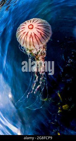 Compass jellyfish ,Chrysaora hysoscella, swimming in County Donegal - Ireland.