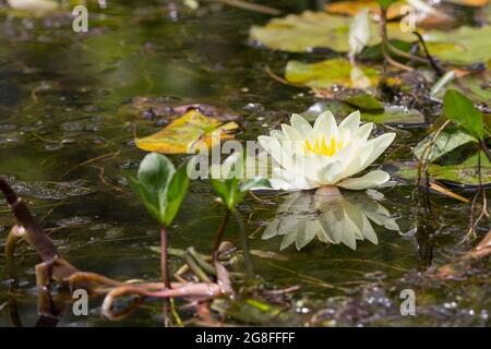 White water-lily (Nymphaea alba) flower has white petals and yellow centre large circular leaves are green above reddish below floating on water