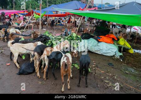 Kolkata, West Bengal, India - 11th August 2019 : Goats for sale in open market during 'Eid al-Adha' or 'Feast of the Sacrifice' or Eid Qurban or 'Fest
