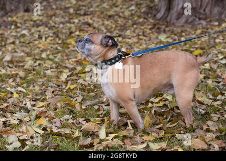 Bugg dog with collar and leash walking outdoors through fallen leaves in autumn (cross between Boston Terrier and Pug)
