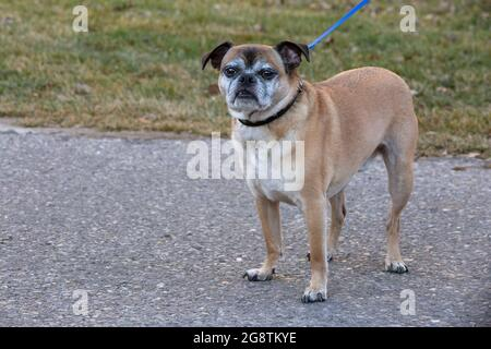 Bugg dog with collar and leash on a walk outside on a city path (cross between Boston Terrier and Pug)