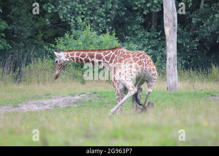 Reticulated giraffe in Overloon zoo, the Netherlands