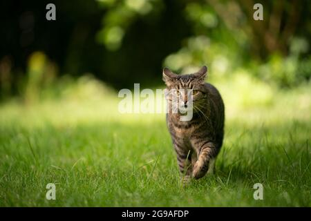 tabby cat walking towards camera on green meadow looking curiously folding back ears with copy space