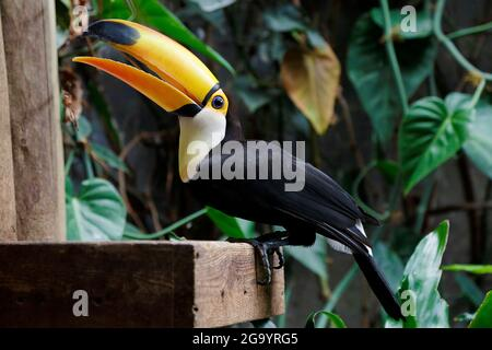Toco toucan (Ramphastos toco), also known as the common toucan or giant toucan resting in a branch
