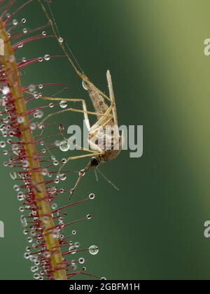 a mosquito (Aedes) that has been trapped on the leaf of a carnivorous fork-leaved sundew plant (Drosera binata)