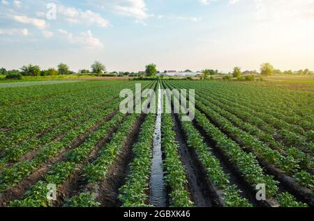 Water flows through an irrigation canal on a potato plantation. Providing the field with life-giving moisture. Surface irrigation of crops. European f