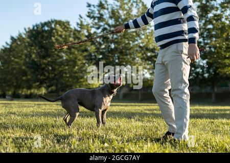 Close up on head of gray american pit bull terrier apbt dog on the playing with man holding a stick on the field standing in sunny day