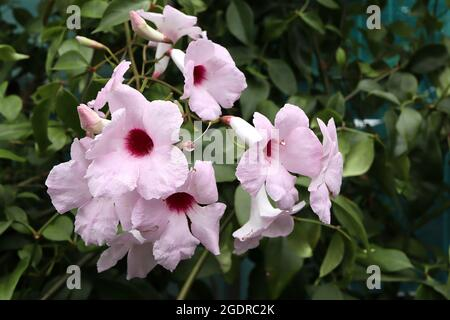 Pandorea jasminoides 'Pink Supreme' bower plant – small clusters of funnel-shaped pale pink flowers with crimson throat,  July, England, UK